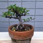 買ってきた長寿梅の初めての植え替え|盆栽