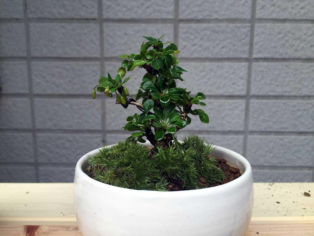 植え替え後のメギ 盆栽