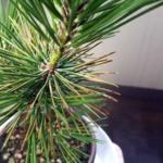黒松、葉ふるい病ってやつにかかってるんじゃ。よく見ると赤松も、、|盆栽