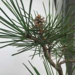 芽切りをした黒松に脇芽が生えてきた!遅ればせながら切り口の殺菌を実施|盆栽