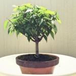 欅(ケヤキ)盆栽落札。葉に斑点の病気が・・・まずは葉切りで様子見。