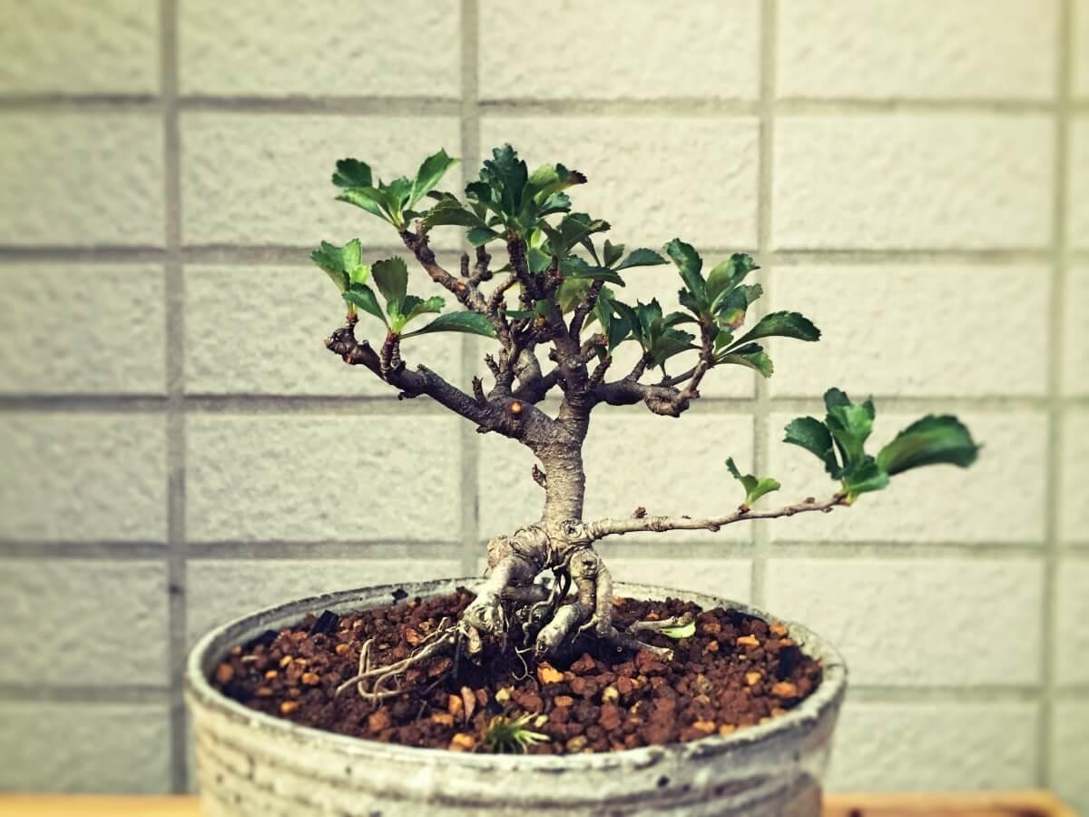 盆栽 長寿梅